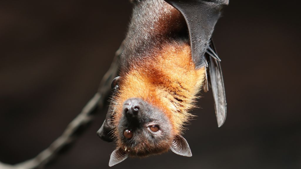 Descubren seis nuevos coronavirus en murciélagos