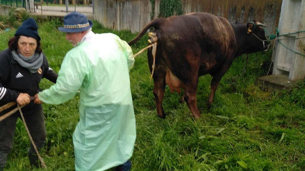 Agentes de la Guardia Civil ayudan en el parto de una vaca