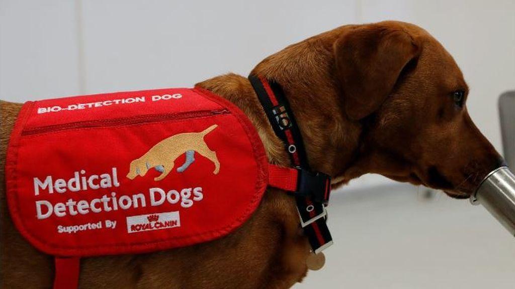 Entrenan a perros para que sean capaces de detectar a personas infectadas con coronavirus