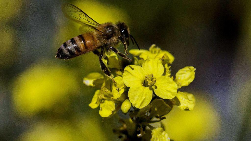 El confinamiento salva a las abejas: los motivos por los que están reviviendo