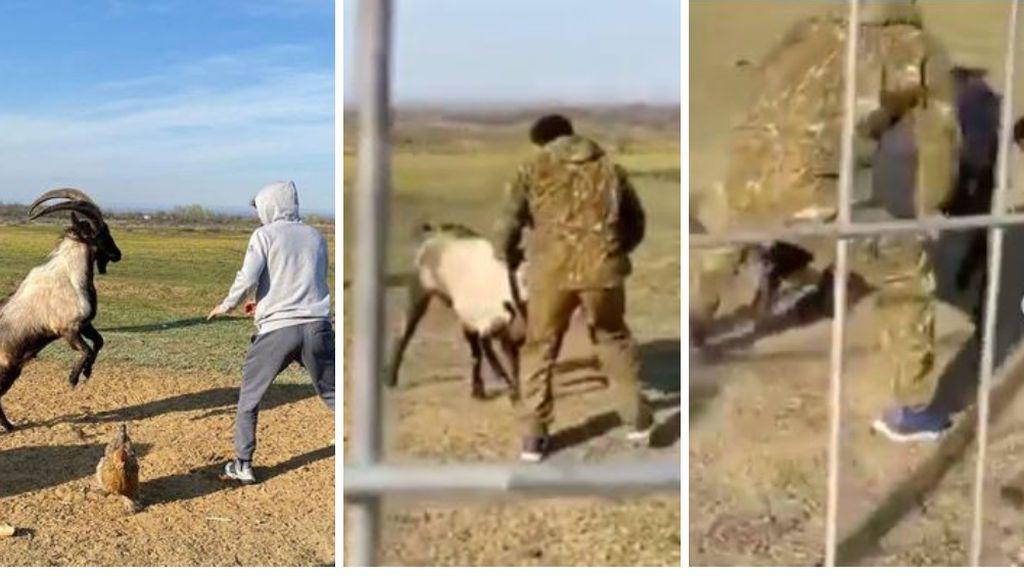 La vergüenza de Zabit: entrena para la UFC dando una paliza a una cabra montesa
