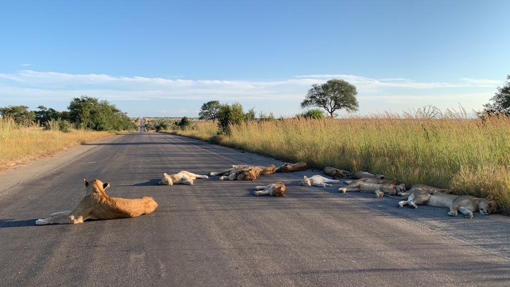 A los animales les gusta la cuarentena: las tortugas aprovechan las playas vacías y los leones las carreteras