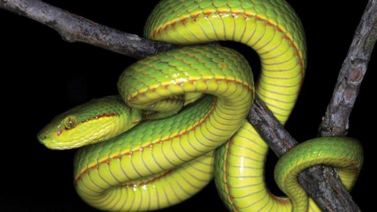 Científicos descubren una nueva serpiente a la que llaman Salazar Slytherin