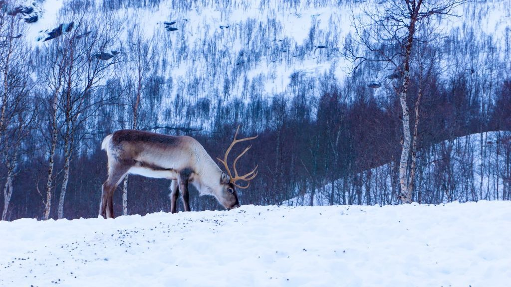 Caballos, bisontes y renos para salvar el permafrost: un grupo de científicos plantea mandar manadas al Ártico
