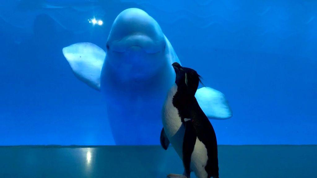 Pingüinos, búhos y tortugas se dan un paseo por los acuarios cerrados: sus reacciones al ver a otros animales