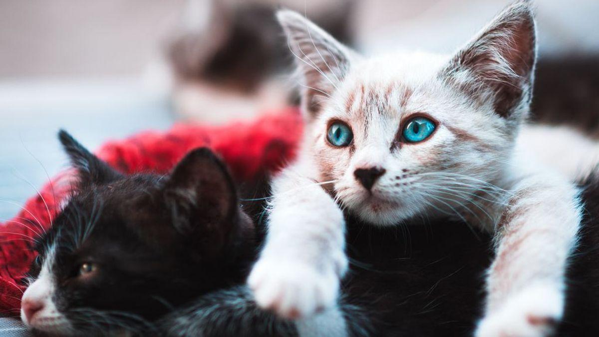 Meter un segundo gato en casa (sin desatar la ira del primero) es más fácil de lo que parece