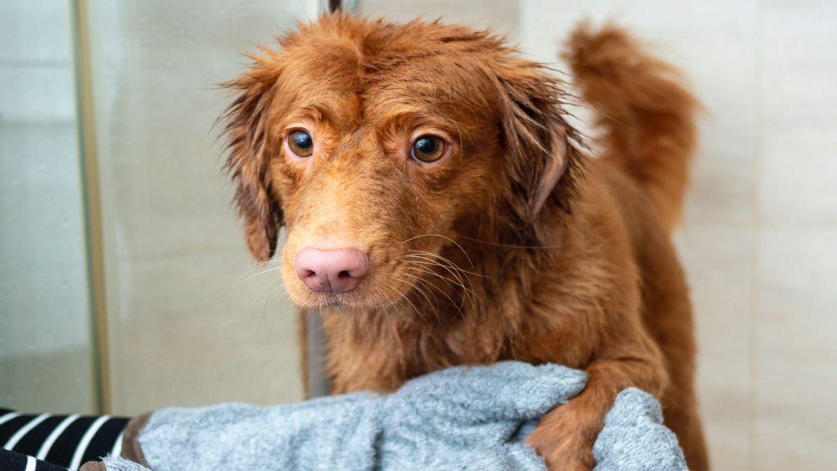 Cuatro métodos eficaces para secar a tu perrete después de un paseo bajo la lluvia