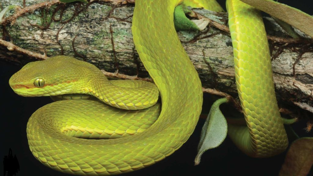 Serpiente Salazar Slytheryn: una nueva especie encontrada en India ha sido bautizada en honor a Harry Potter