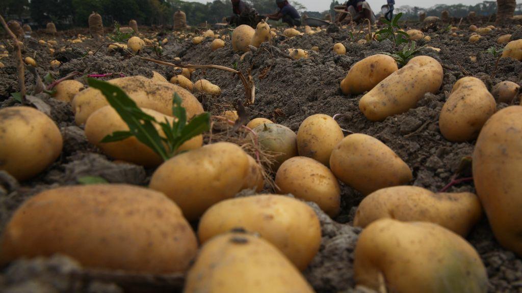 plantación de patatas