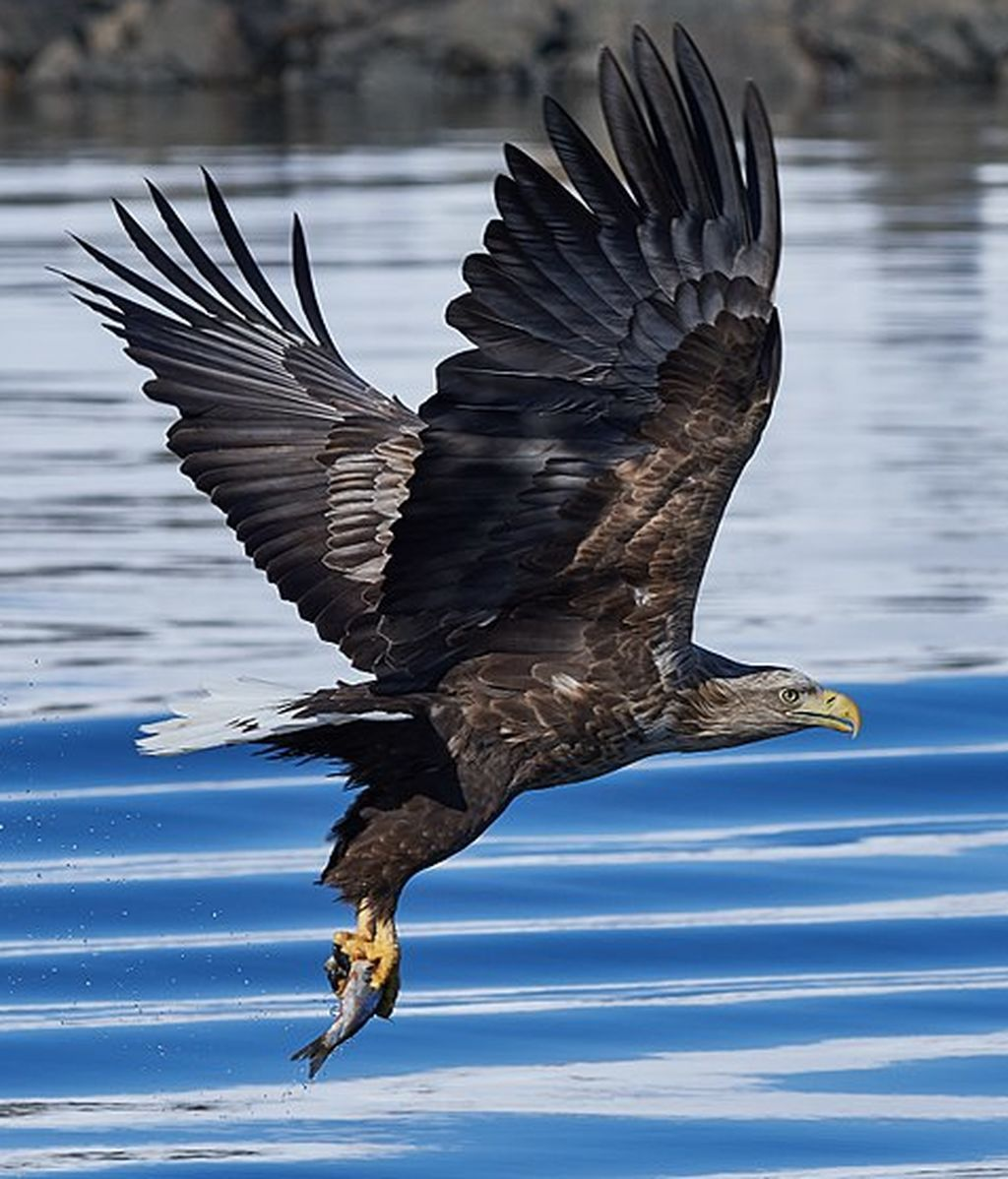 Las águilas de cola blanca vuelven a Reino Unido tras más de dos siglos