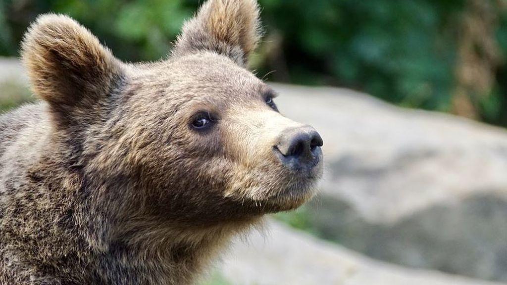 Hasta parece que baila: graban por primera vez en 150 años un oso pardo en Ourense