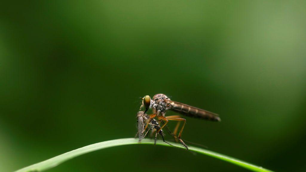Los mosquitos y el coronavirus: la OMS disipa las dudas