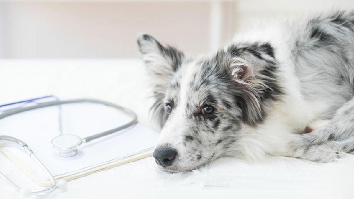 Los perretes también se constipan: todos los cuidados que debes seguir para que mejore