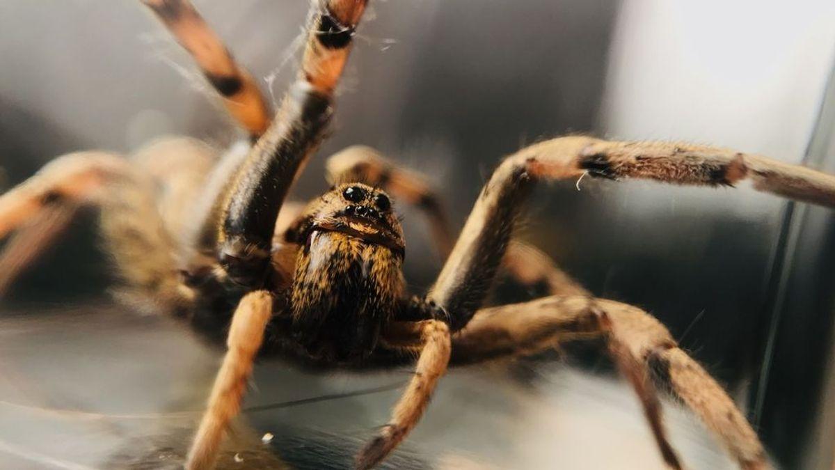 Las arañas lobo del Ártico son cada vez más grandes y se están devorando entre ellas