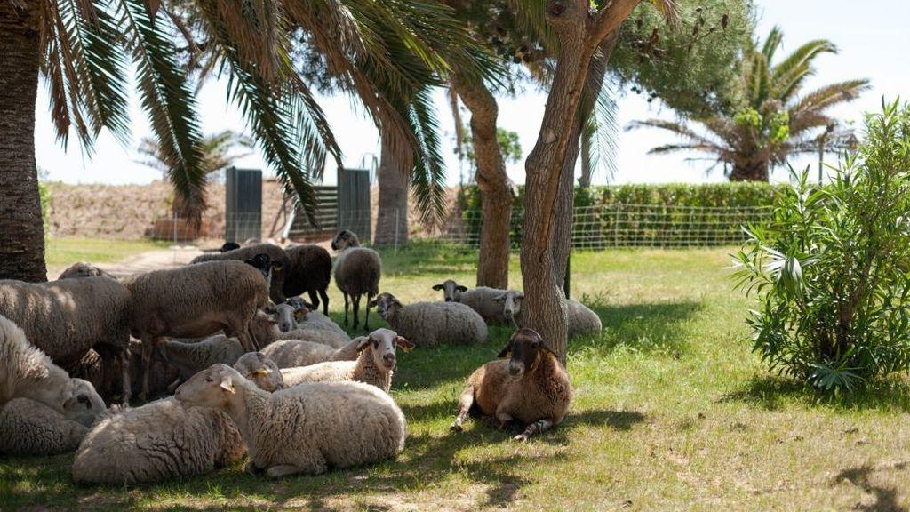 Las ovejas 'veranean' en un camping de Tarragona