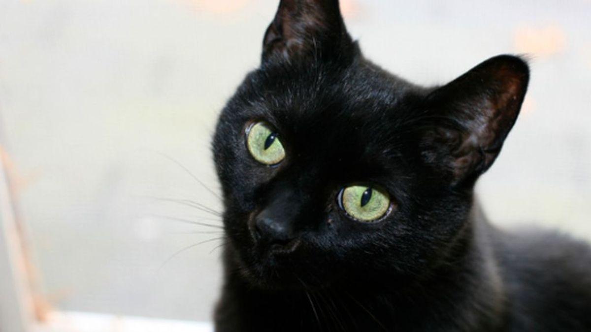 Muere Negrito, el primer gato contagiado por coronavirus en España