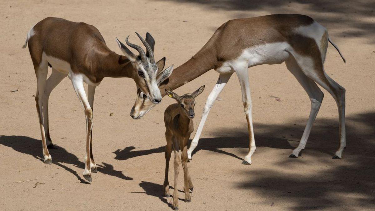 Nace en Valencia una gacela Mhorr que salvó de la extinción un pionero  español
