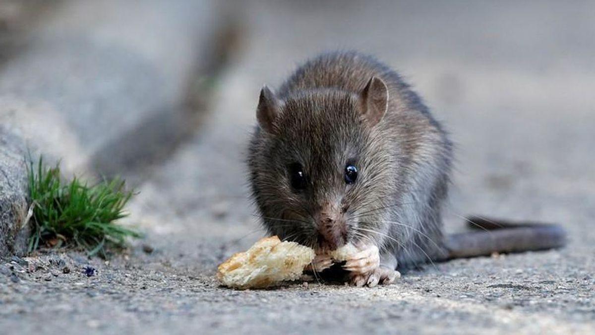 Las ratas están contagiando hepatitis a los humanos, pero los expertos no saben cómo
