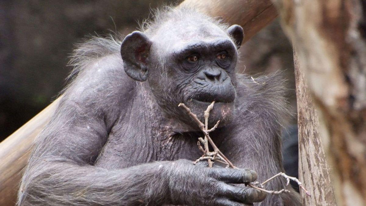 Muere 'la Vieja', la chimpancé más anciana de Europa, en el Zoo de Barcelona