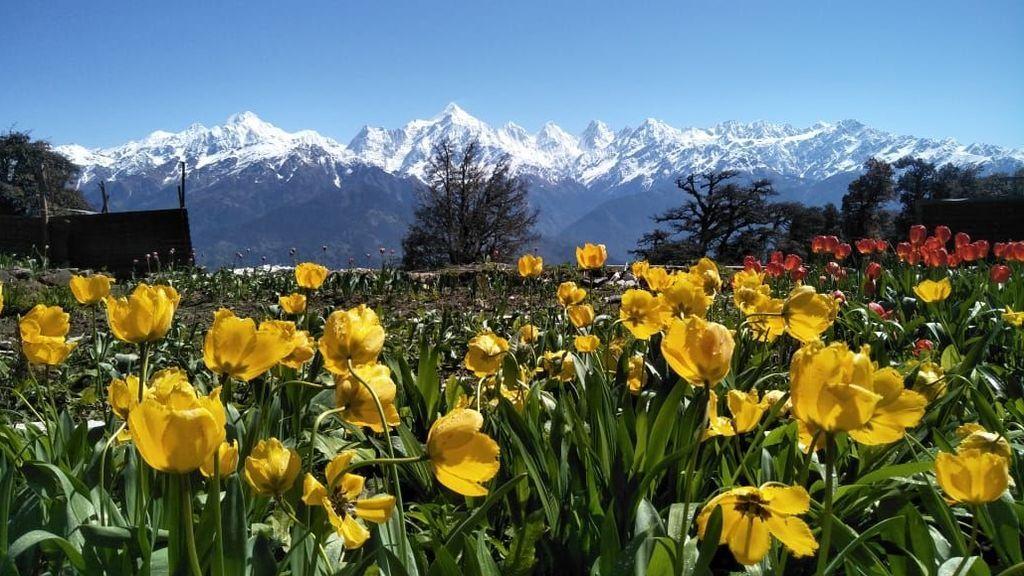 Jardín de tulipanes frente al Himalaya: crece a 2.000 metros y en unos años será de los más grandes del mundo