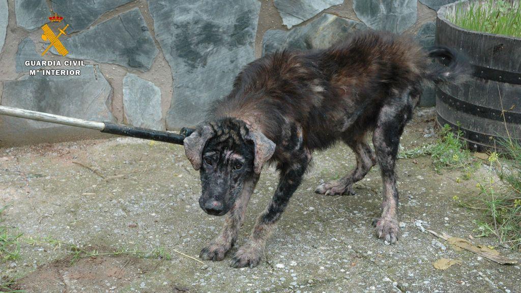 Uno de los perros maltrados por este vecino de Logroño.