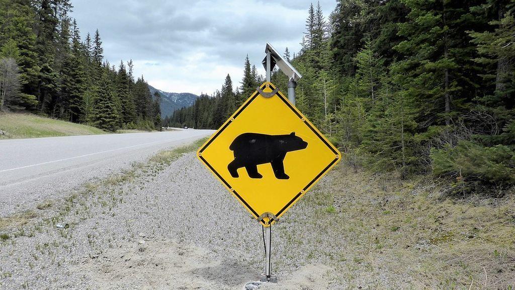 Un conductor se convierte en el ejemplo de lo que no hay que hacer al encontrarse un oso en la carretera