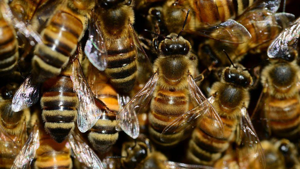 La población mundial de las abejas resurge con fuerza gracias al coronavirus