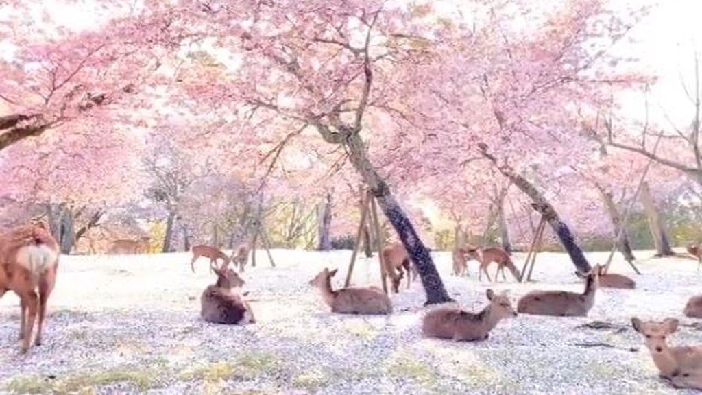 Al menos alguien disfruta los cerezos: ciervos echados sobre millones de pétalos rosas en Japón