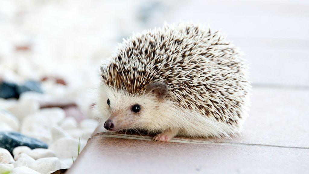 hedgehog-468228_1920