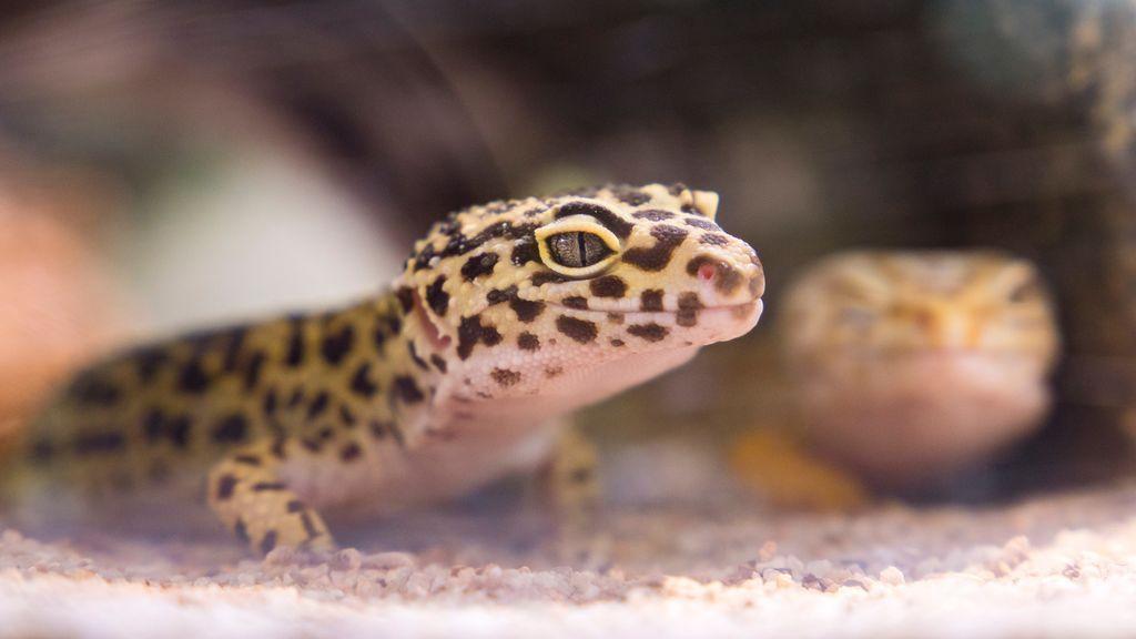 Gecko leopardo: por qué este pequeño lagarto es la mascota ideal