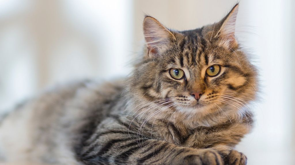 Los veterinarios piden limitar las salidas incontroladas de los gatos domésticos