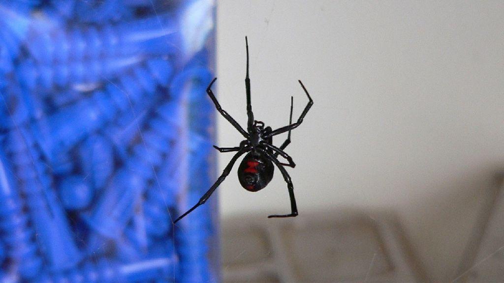 Unos niños dejan que les pique una araña venenosa para convertirse en Spider-Man