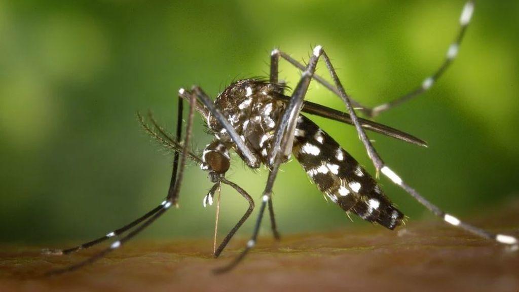 Mosquito tigre en Ibiza: el Consell avisa de que hay cuatro veces más como consecuencia del coronavirus