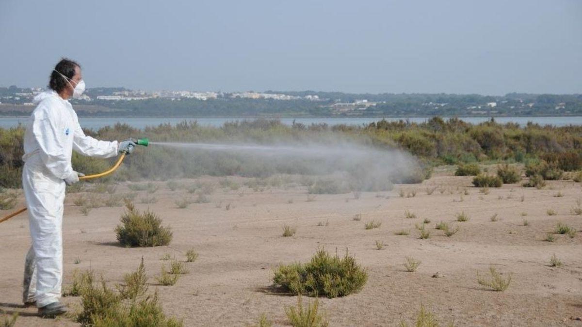 El abandono de las piscinas públicas y privadas dispara las plagas de mosquitos en Ibiza