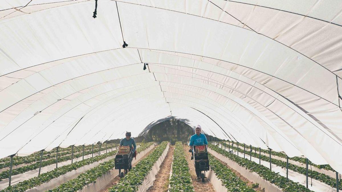 La Junta de Andalucía hará test a 7.000 temporeras de la fresa para que puedan regresar a Marruecos