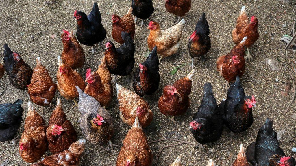 Un científico advierte de un posible virus aviar que podrá matar a la mitad de la población