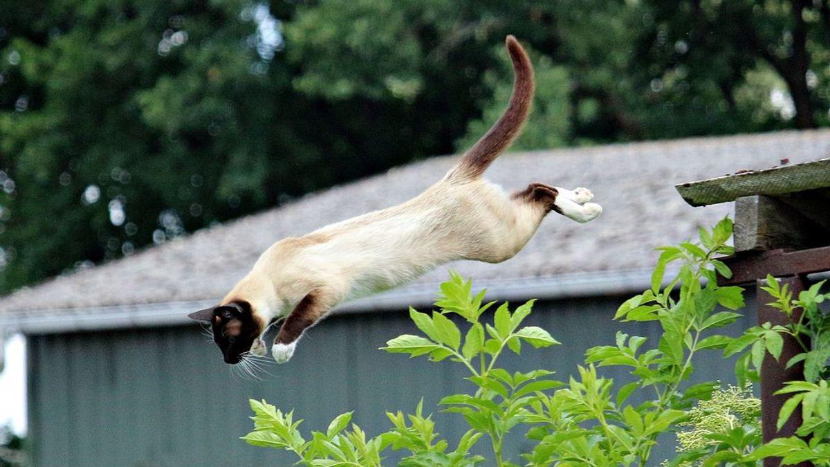 Los gatetes siempre aterrizan de pie gracias a su capacidad de torsión en plena caída
