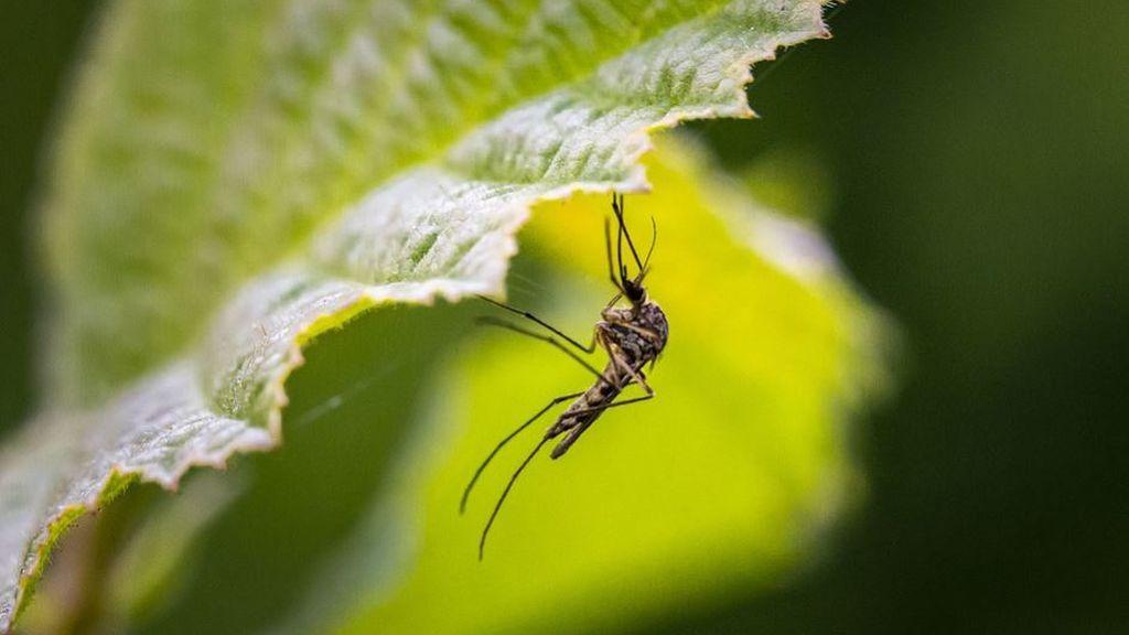 El tigre en el Mediterráneo y el 'japonicus' en el Cantábrico: los mosquitos invasores que preocupan en verano