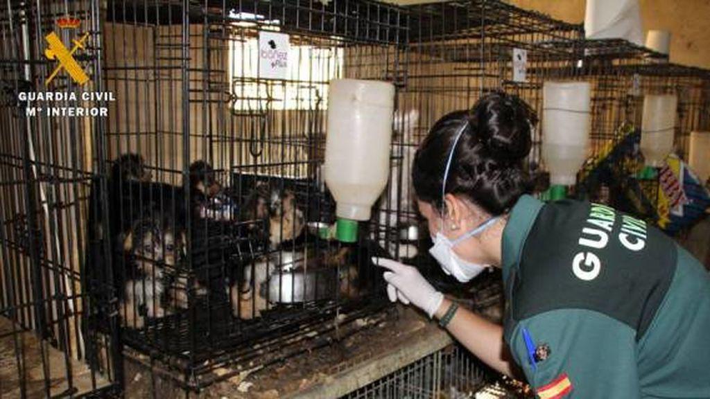 El Seprona localiza en Zaragoza a 544 perros en condiciones  deplorables