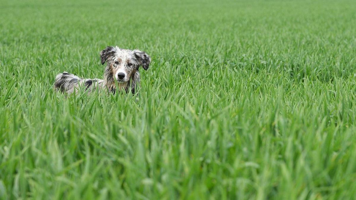 Los perretes suelen comer hierba con el fin de purgarse y obtener complementos alimenticios