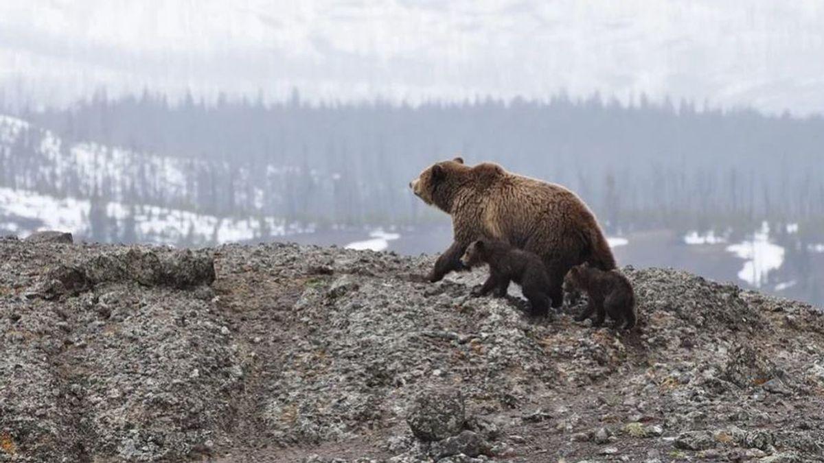 El oso pardo, cada vez más visible en España: se han visto ocho juntos en el Parque Natural de Somiedo