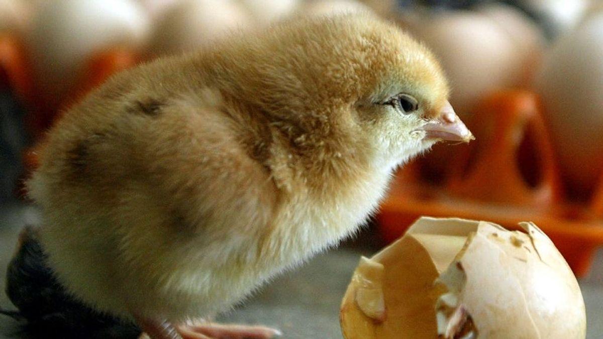 Un pollito da la sorpresa saliendo de un huevo en un supermercado de Bangkok