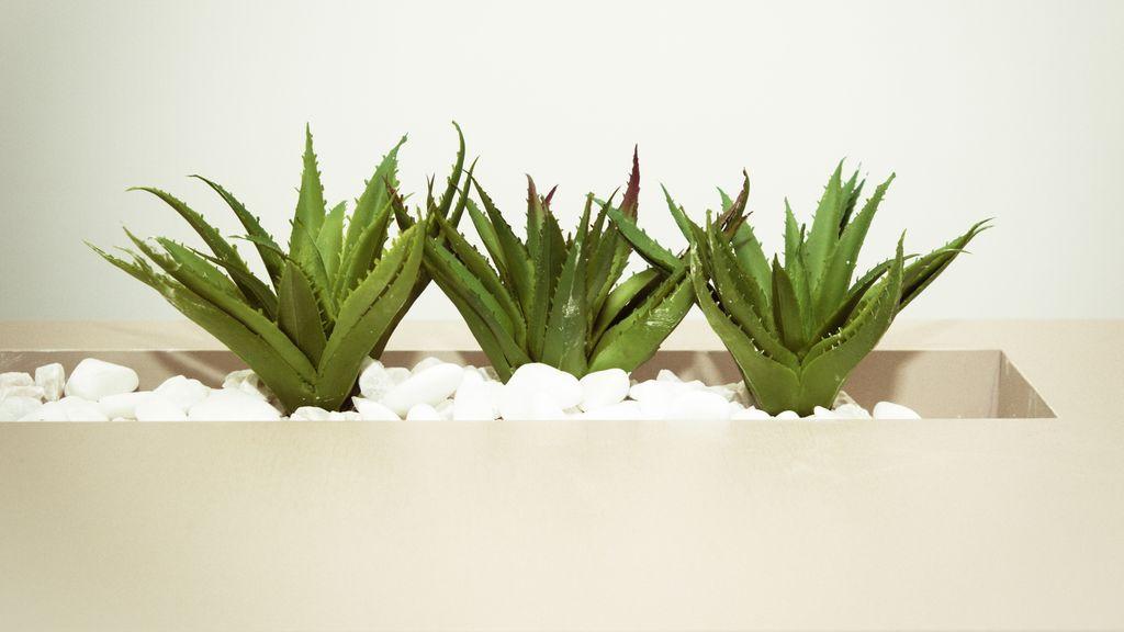 Aloe Vera. Foto de Cecília Tommasini en Pexels