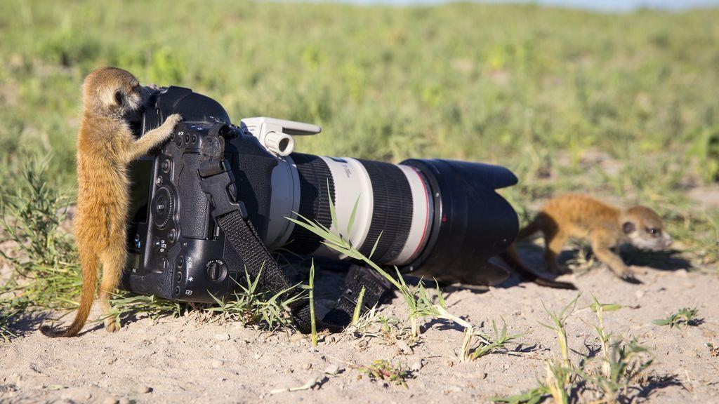 Zorros, pájaros, ardillas: los animales investigan las cámaras de los fotógrafos