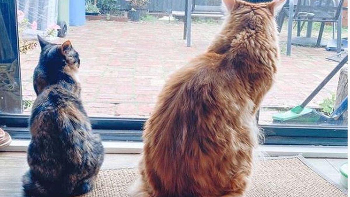 Omar, el gato más grande del mundo, a punto de entrar en el Libro Guinness de los Records