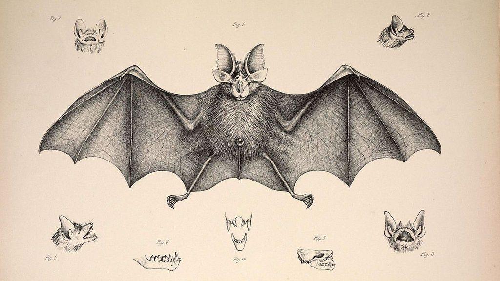 Lámina murciélago