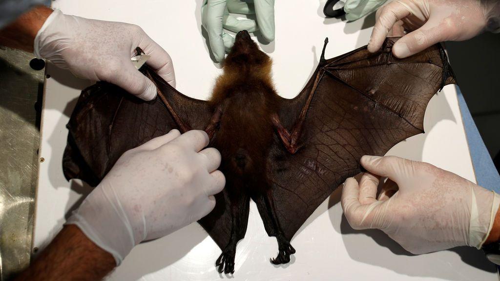 ¿Por qué los murciélagos tienen tantos virus? Por Raúl Rivas