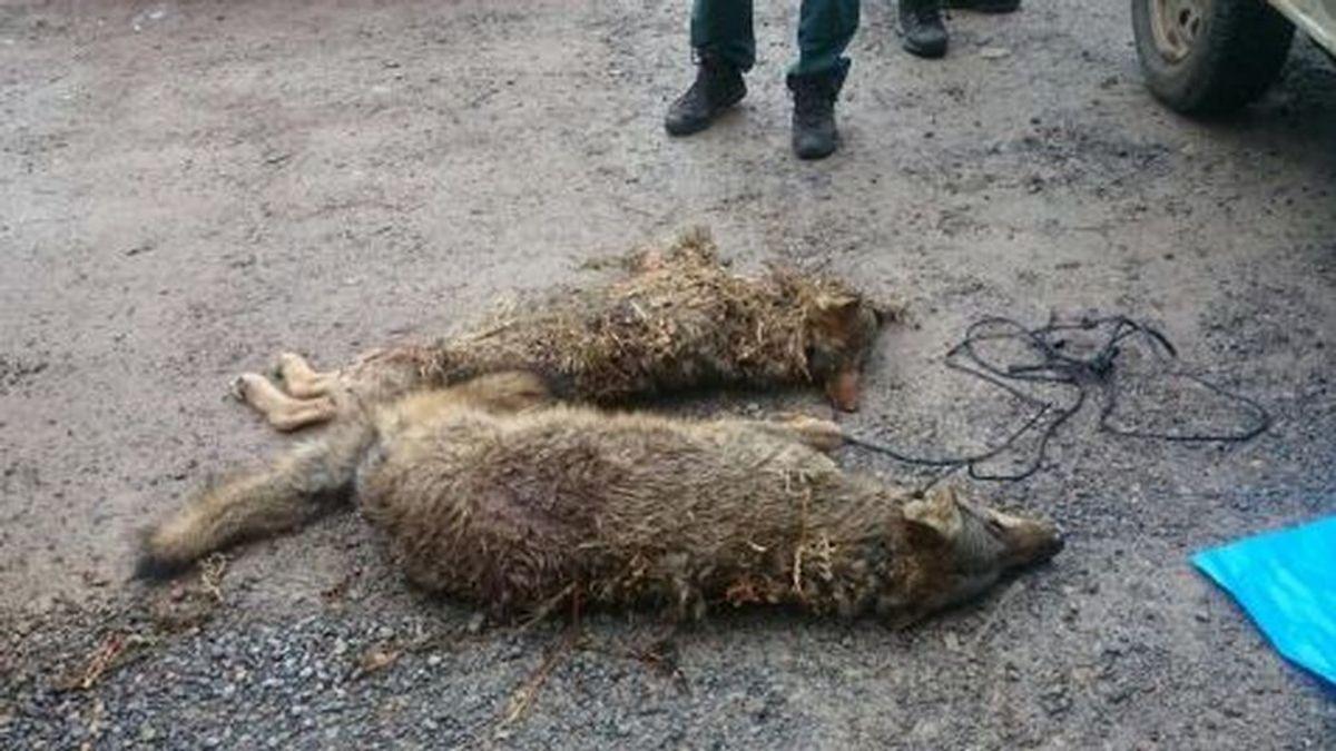 Dos cazadores que mataron a un lobo, condenados por primera vez en España