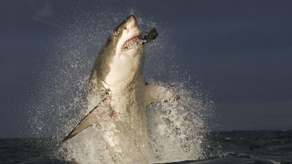 Al tiburón blanco no le gusta comer humanos: terminado el primer estudio que analiza su dieta