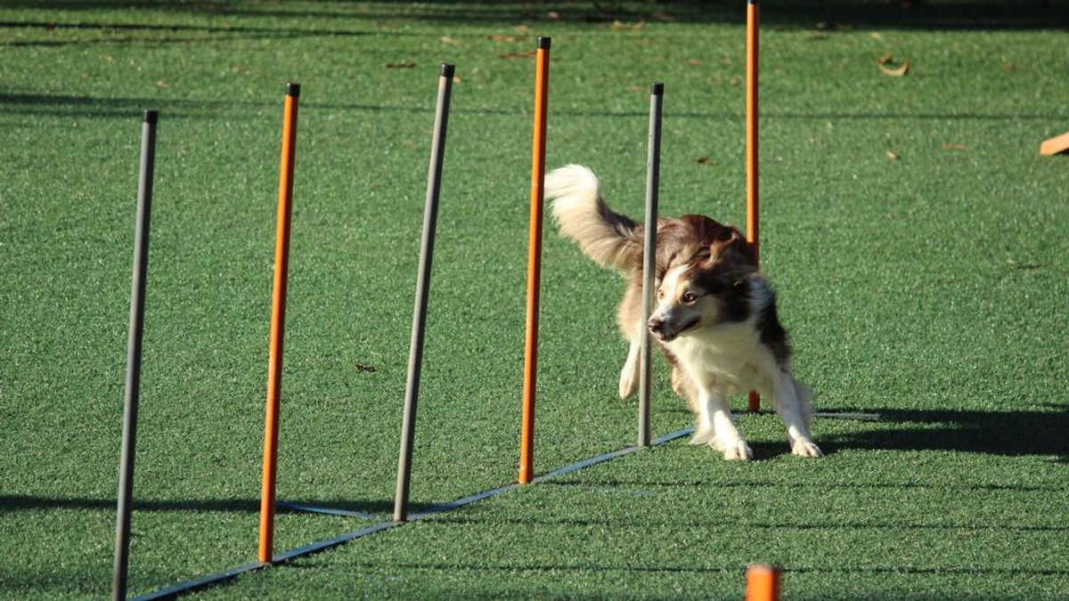 Agility: el deporte canino que cada vez tiene más adeptos y aficionados